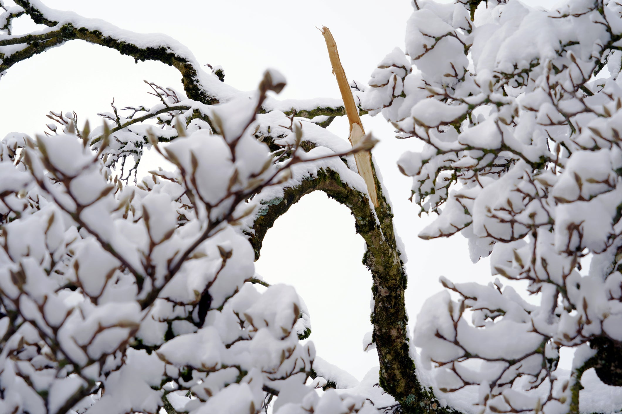 A tree with minor branch loss from a winter storm.