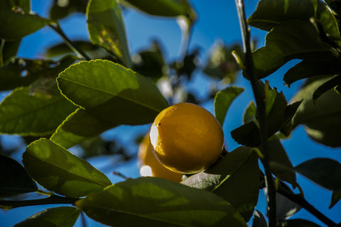 Meyer Lemon Trees