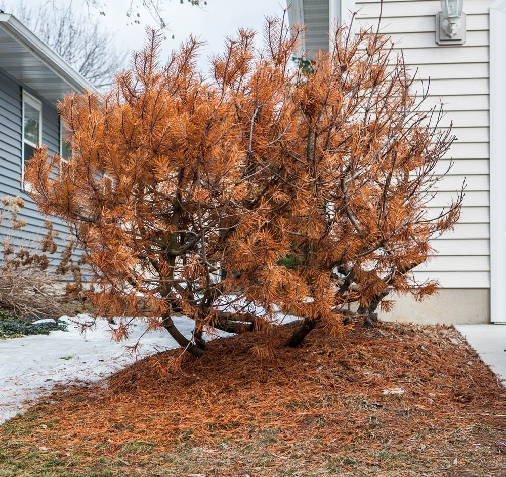 """Image of a """"burned"""" evergreen with dry, red-orange foliage"""
