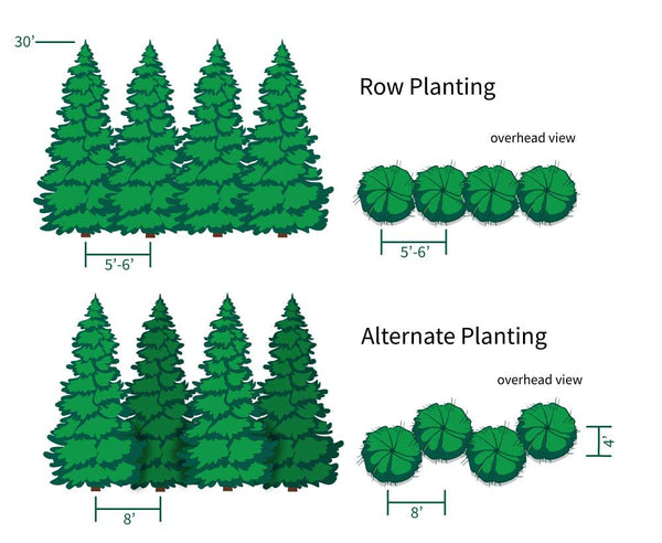 Thuja Green Giant Planting Directions