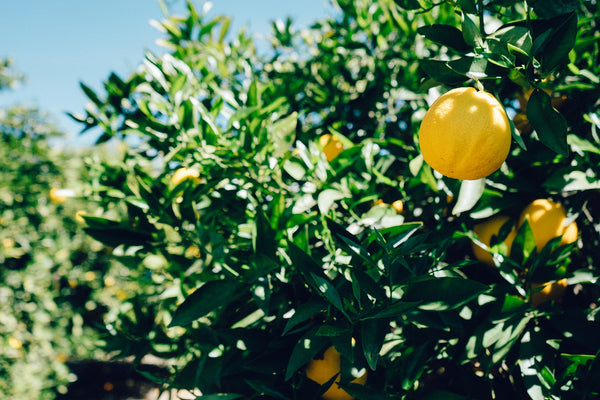 Lemon Pollination