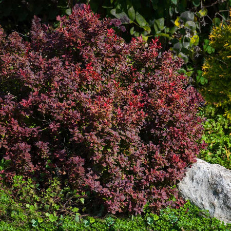 Admiration Barberry Shrub