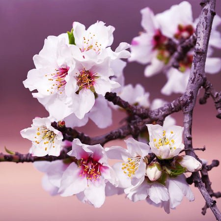 All-in-One Almond Tree