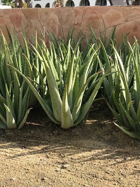 Aloe Vera Plants For Sale Fastgrowingtrees Com