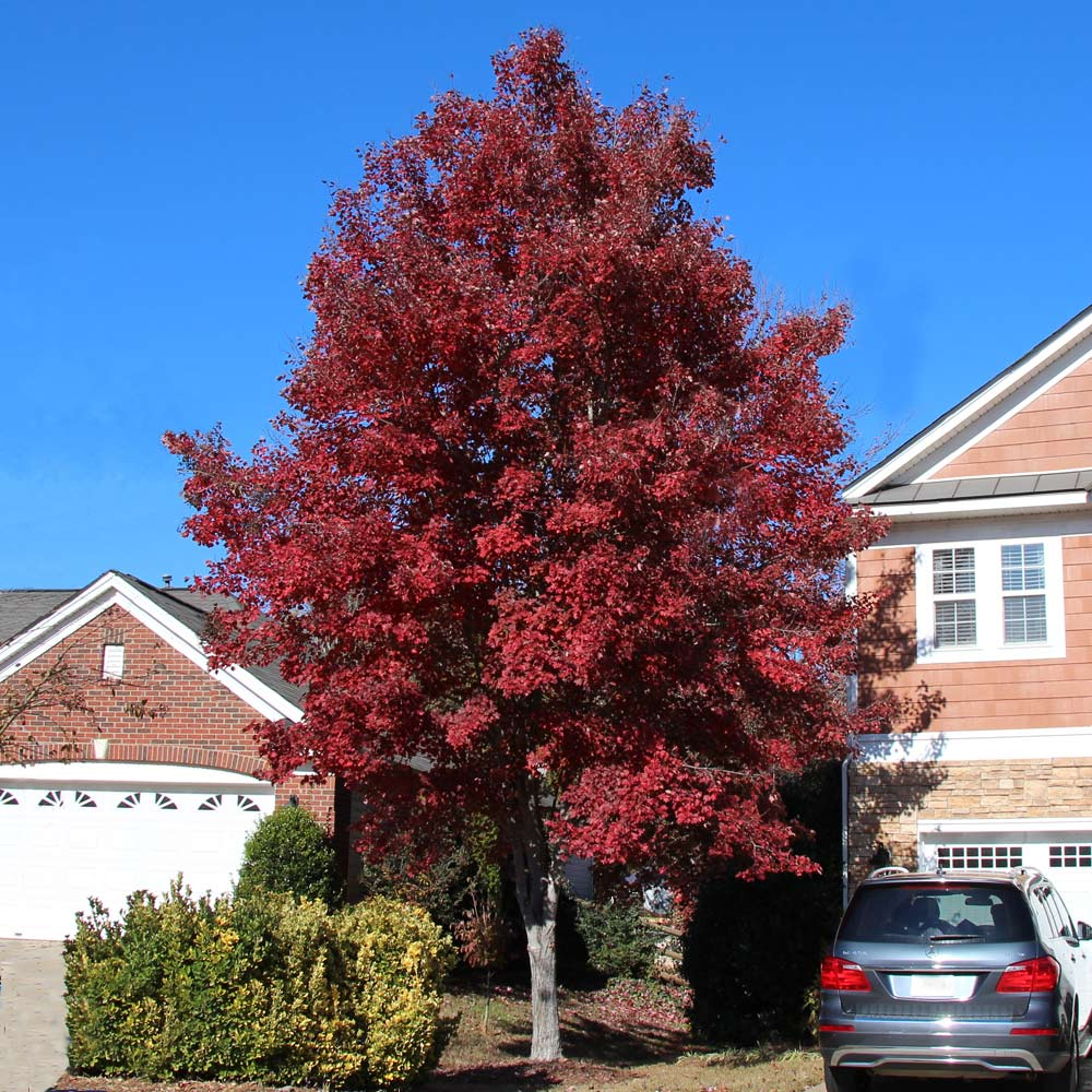 American Red Maple Trees For Sale Fastgrowingtrees Com