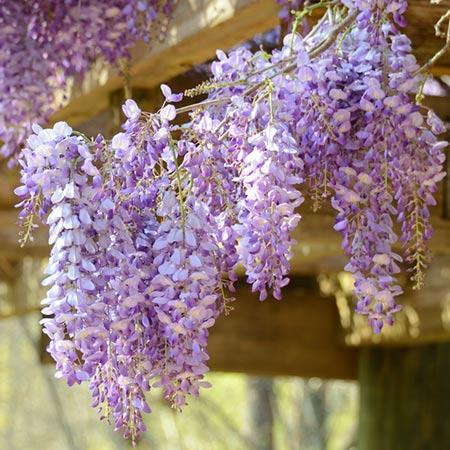 Amethyst Falls Wisteria Vines For Sale Fastgrowingtrees Com