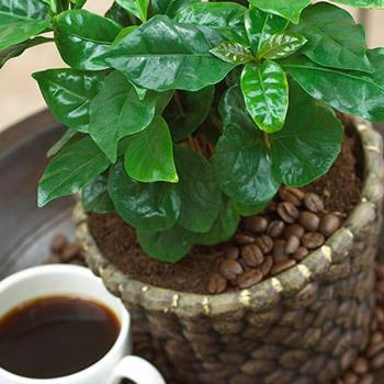 Arabica Coffee Plant - USDA Organic