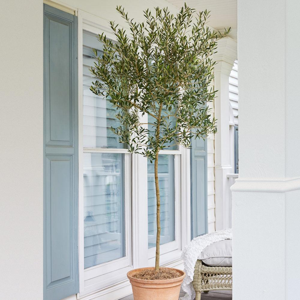 Arbequina Olive Trees For Sale Fastgrowingtrees Com