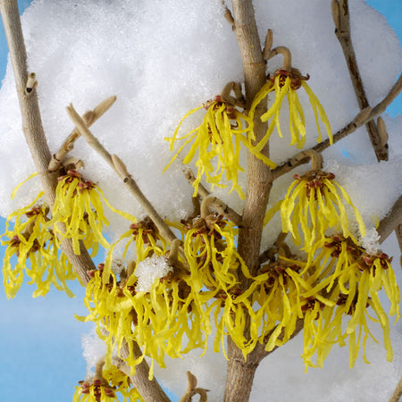Arnold Promise Witch Hazel Shrub