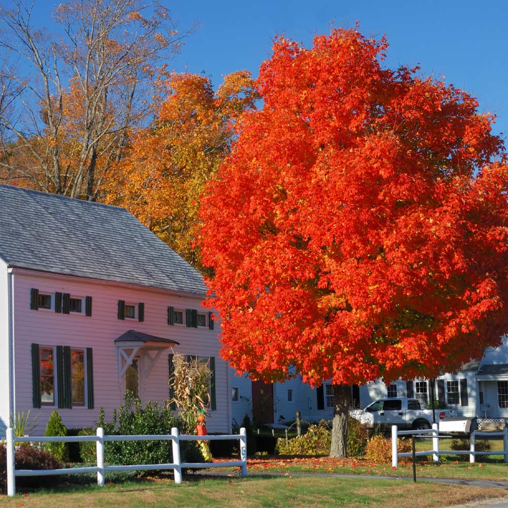 Autumn Blaze Red Maple Trees For Sale Fastgrowingtrees Com