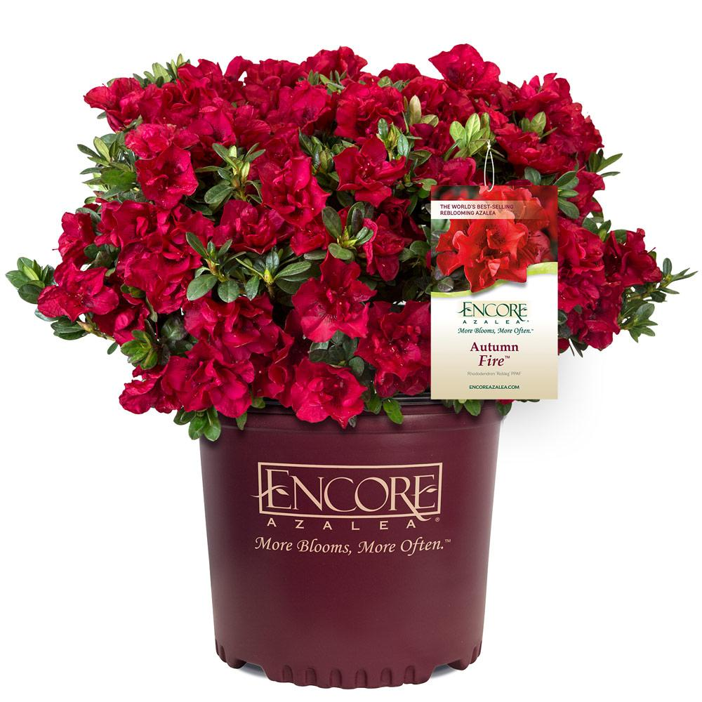 Autumn Fire™ Encore® Azalea Shrub