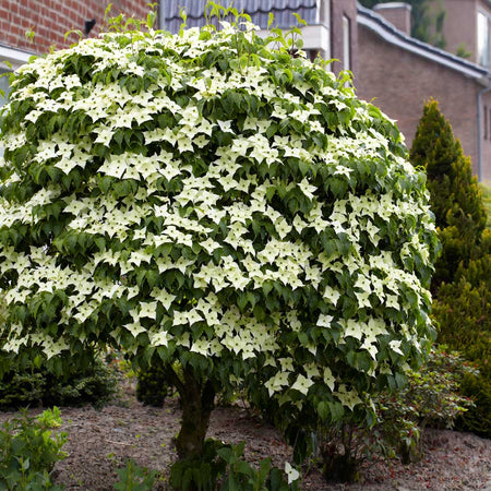 Blue Ray Kousa Dogwood