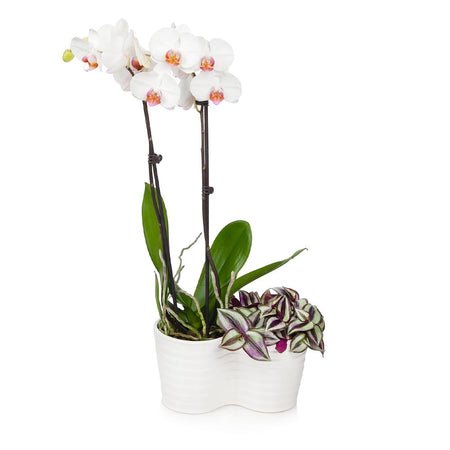 White Orchid and Zebrina Plant