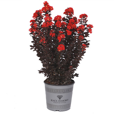 Black Diamond® Radiant Red Crape Myrtle