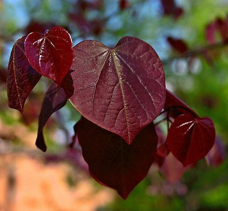Black Pearl™ Redbud Tree