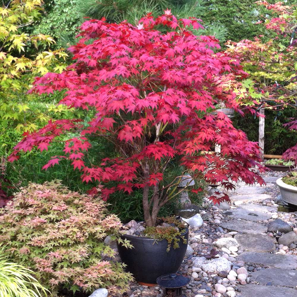 Bloodgood Japanese Maple Trees For Sale Fastgrowingtrees Com