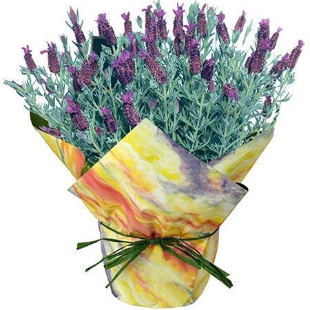 Blooming Lavender Gift