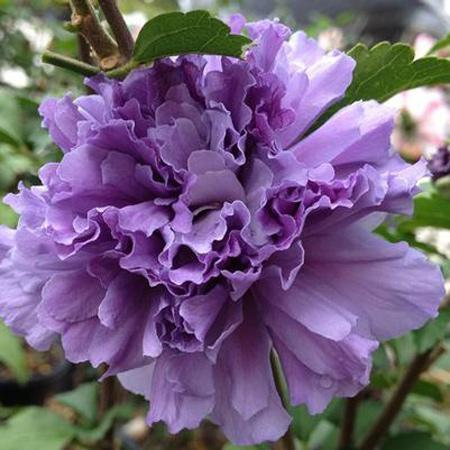 Blueberry Smoothie™ Rose of Sharon Althea Tree