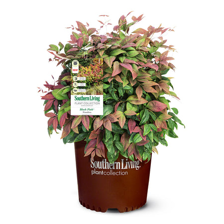 Blush Pink™ Nandina Shrub