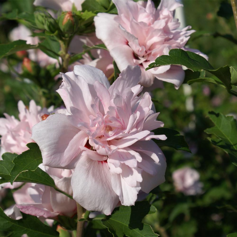 Blushing Bride Rose of Sharon Althea Shrub