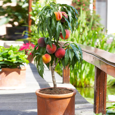 Bonanza Patio Peach Tree