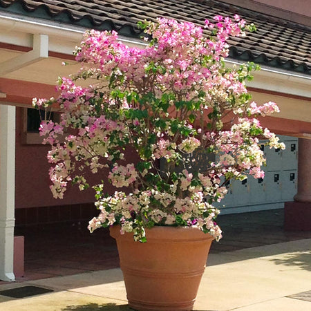 Thai Delight Bougainvillea