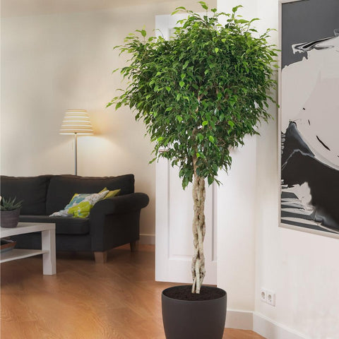 Braided Benjamina Ficus Tree