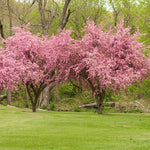 Brandywine Crabapple Tree