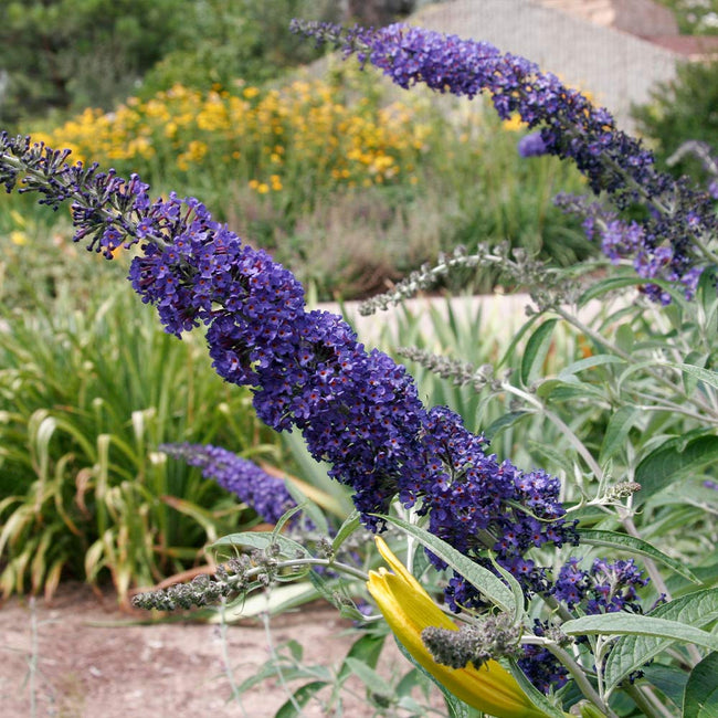 Black Knight Butterfly Bushes For Sale Fastgrowingtrees Com