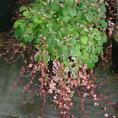 Calico Cat™ Boston Ivy Vine