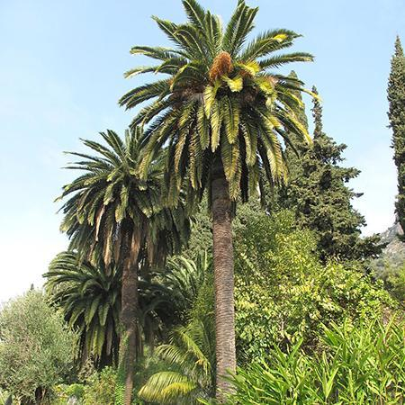 canary island date palm trees for sale. Black Bedroom Furniture Sets. Home Design Ideas