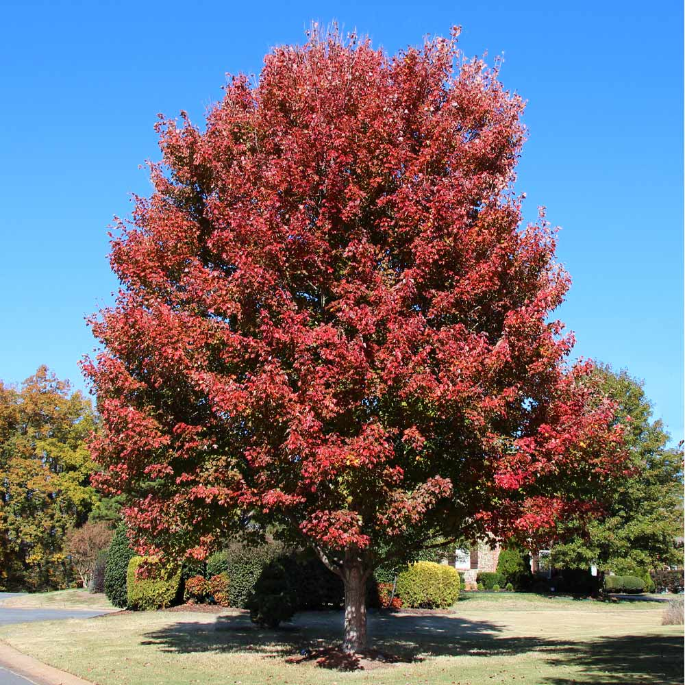 Cardinal Red™ Maple Tree
