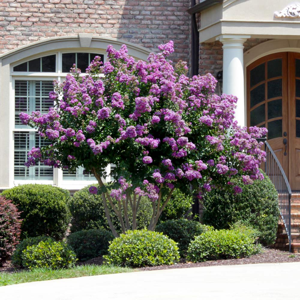 Catawba Crape Myrtle Tree