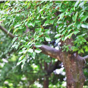 Chinese Hackberry Tree