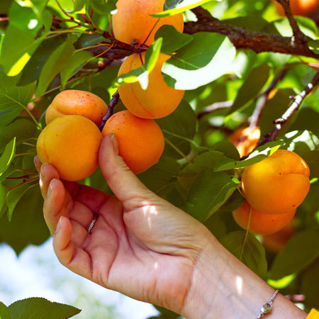 Chinese Mormon Apricot Tree