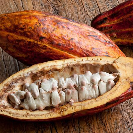 Chocolate Cocoa 'Cacao' Plant