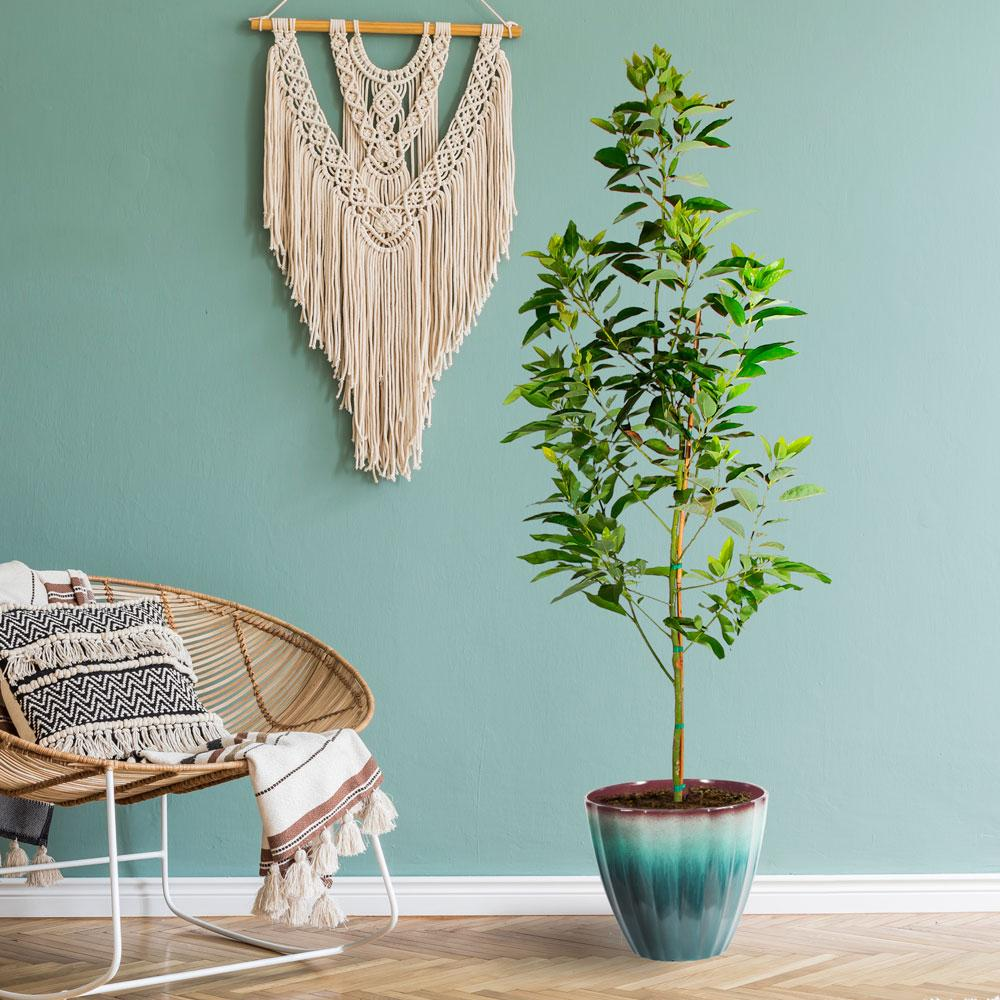 Cold Hardy Avocado Trees For Sale Fastgrowingtrees Com