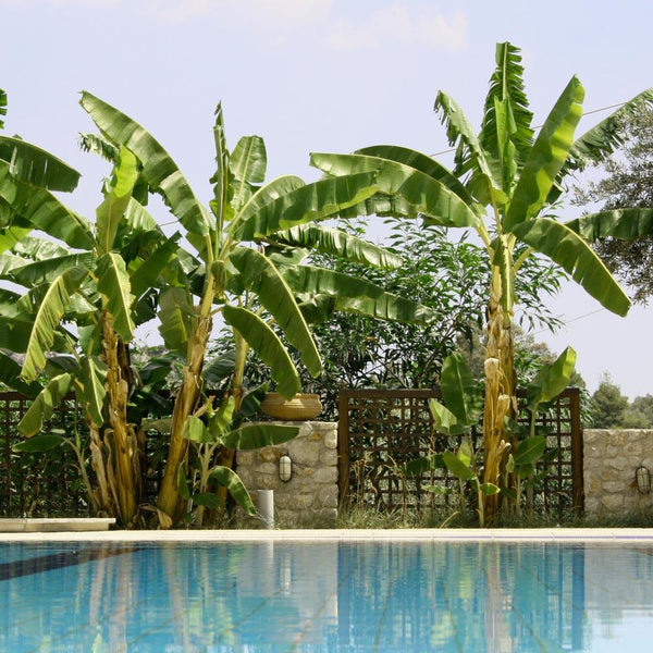 Cold Hardy Banana Trees For Sale