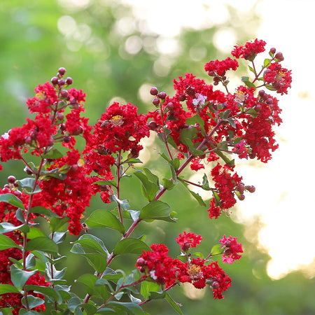 Colorama™ Scarlet Crape Myrtle Tree