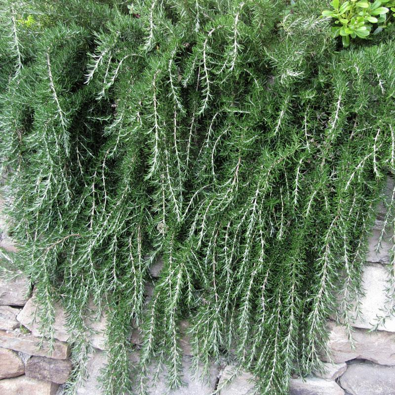 Creeping Rosemary Plants For Sale Fastgrowingtrees Com