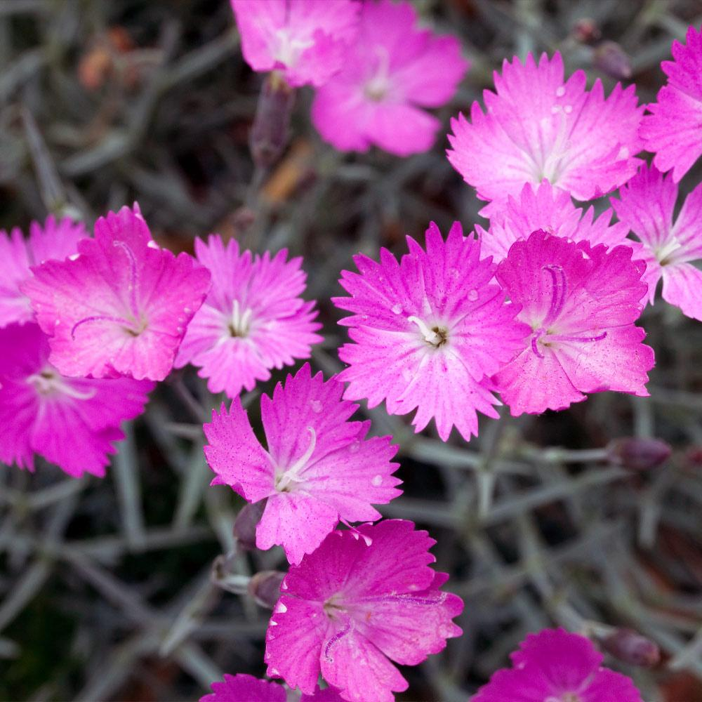 Firewitch Dianthus Plant