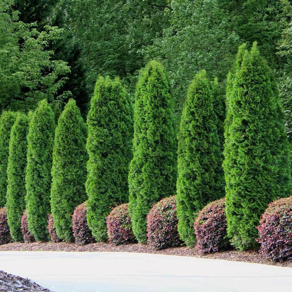 Emerald Green Thuja Arborvitaes For Sale