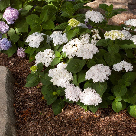 Blushing Bride® Hydrangea Shrub