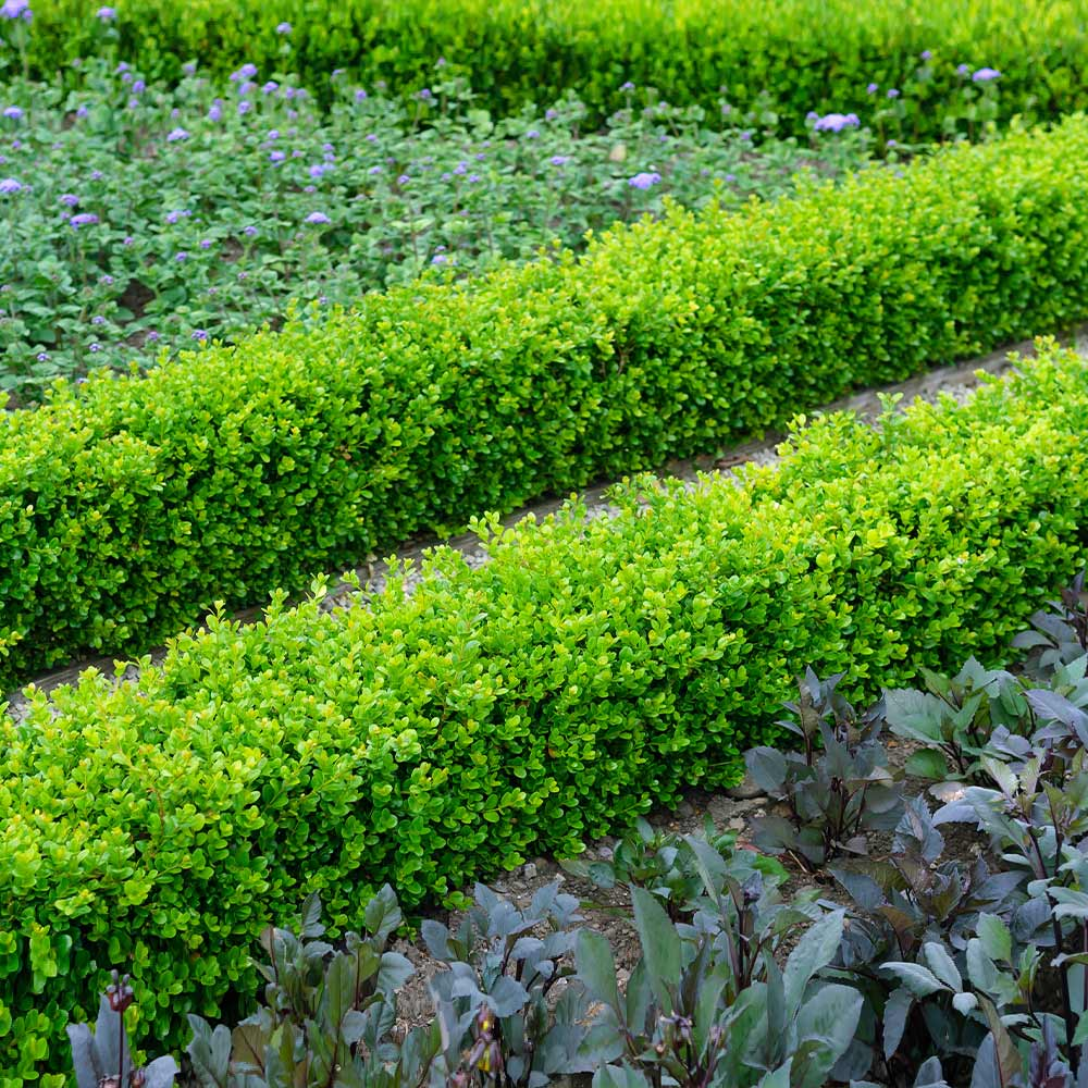 English Boxwood Shrub