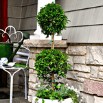 Eugenia Poodle Topiary (2-Ball)
