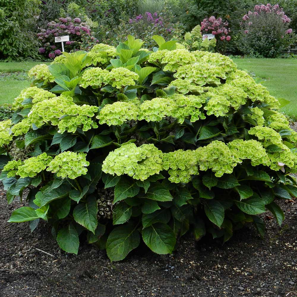 Everlasting® Green Cloud Emerald Hydrangea Shrub
