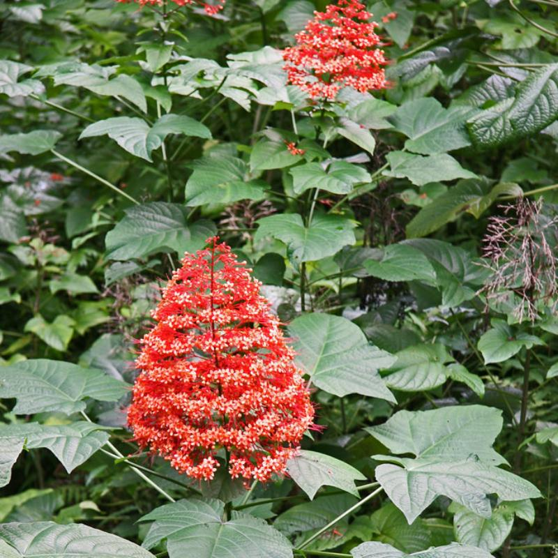 Flaming Glory Plant