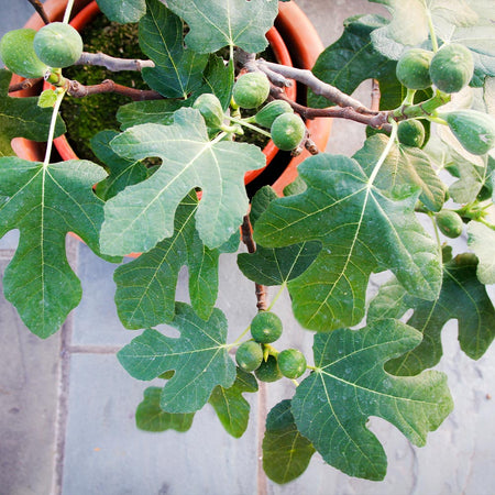 Fignomenal Fig Tree