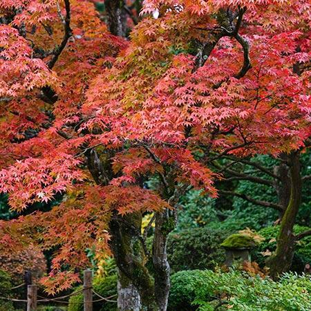 Fireglow Japanese Maples For Sale Fastgrowingtrees Com