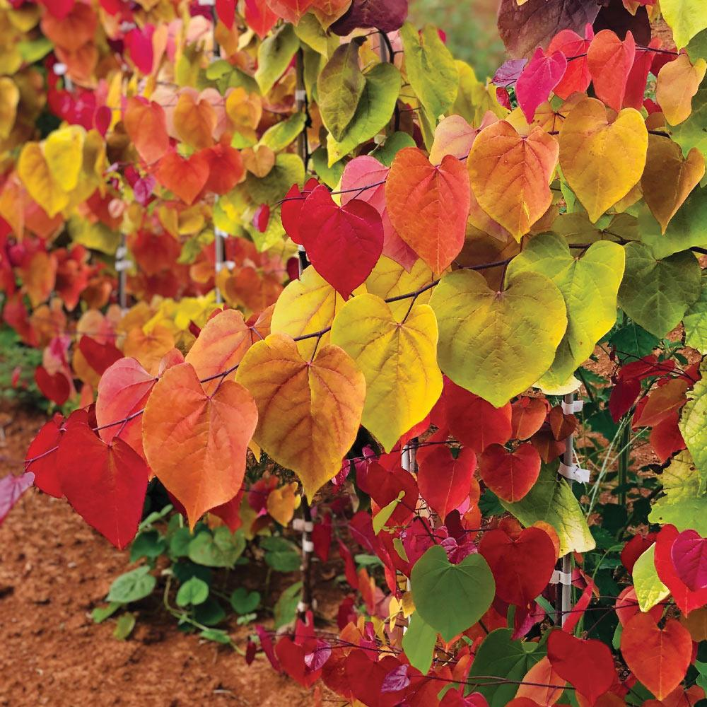 Flame Thrower Redbud Trees For Sale Fastgrowingtrees Com